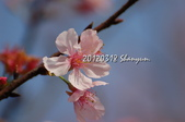 20120318天元宮櫻花:DSC_629101.jpg