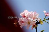 20120318天元宮櫻花:DSC_633101.jpg