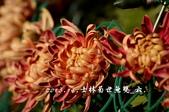2013.11.24士林官邸菊世無雙:DSC_8616.jpg