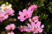 2013.11.24士林官邸菊世無雙:DSC_8632.jpg