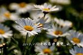 2013.11.24士林官邸菊世無雙:DSC_8676.jpg