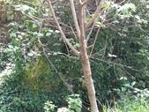 杉林溪的櫻花林:IMG_20210314_095539_1.jpg