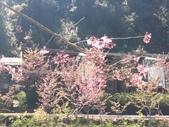 杉林溪的櫻花林:IMG_20210316_111957_1.jpg