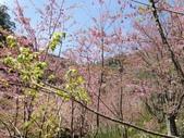 杉林溪的櫻花林:IMG_20210316_111458.jpg