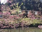 杉林溪的櫻花林:IMG_20210316_111420_1.jpg