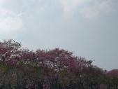 雲林 虎尾 美人櫻河堤:IMG_20201120_114545_1.jpg