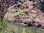 杉林溪的櫻花林:IMG_20210316_111911_1.jpg
