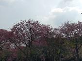 雲林 虎尾 美人櫻河堤:IMG_20201120_114535_1.jpg