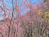 杉林溪的櫻花林:IMG_20210316_111944.jpg