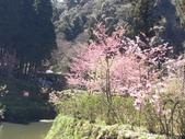杉林溪的櫻花林:IMG_20210316_110609_1.jpg