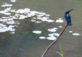 南港公園的生態:971031翠鳥-4.JPG