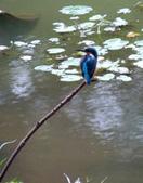 南港公園的生態:971031翠鳥-8.JPG