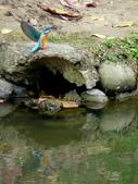 南港公園的生態:980114南港公園翠鳥-2