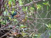 南港公園的生態:980114南港公園翠鳥-7