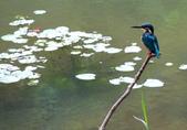 南港公園的生態:971031翠鳥-6.JPG