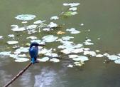 南港公園的生態:971031翠鳥-7.JPG