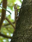 南港公園的生態:980222斯文豪氏攀蜥-2.JPG