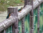 南港公園的生態:980114南港公園翠鳥-1