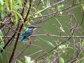 南港公園的生態:980114南港公園翠鳥-6