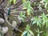 南港公園的生態:980114南港公園翠鳥-3