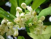 南港公園的生態:980322-柚子花.JPG