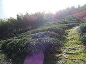 山豬湖 茶園:山豬湖茶園