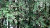 明池國家森林遊樂區 Mingchi Nat'l Park:B Mingchi 090212 wood (4).JPG