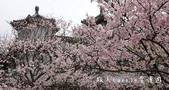 【台北市賞櫻景點】陽明山‧永公路‧東方寺‧吉野櫻‧紫藤花‧炮杖花‧流蘇花滿開!:03DSC06259 (1).jpg