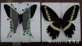 【台北士林】芝山文化生態綠園~在都會綠世界探索昆蟲大奧秘‧蝴蝶標本製作:P1610999.jpg