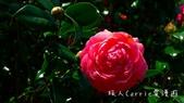 2015陽明山花季‧竹子湖海芋季~粉紅櫻花‧白色海芋‧山茶杜鵑‧草山飄香:P1550083.jpg