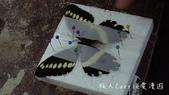 【台北士林】芝山文化生態綠園~在都會綠世界探索昆蟲大奧秘‧蝴蝶標本製作:P1610993.jpg
