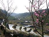 一畝田民宿梯田景觀:櫻花梯田景觀.JPG