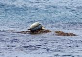 北海道道北。島旅。礼文島:金田海岬-斑海豹曬日光浴 (6).jpg