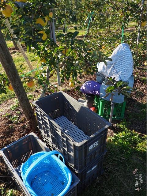 長野松川市東印平林農園採蘋果體驗 (128).jpg - 長野安曇野。東印平林農園蘋果園採蘋果りんご狩り