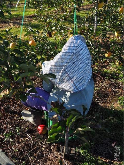 長野松川市東印平林農園採蘋果體驗 (129).jpg - 長野安曇野。東印平林農園蘋果園採蘋果りんご狩り