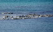 北海道道北。島旅。礼文島:金田海岬-斑海豹曬日光浴 (37).jpg