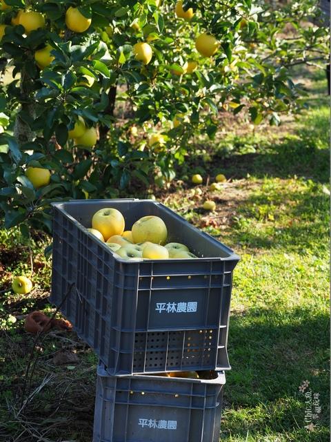 長野松川市東印平林農園採蘋果體驗 (112).jpg - 長野安曇野。東印平林農園蘋果園採蘋果りんご狩り