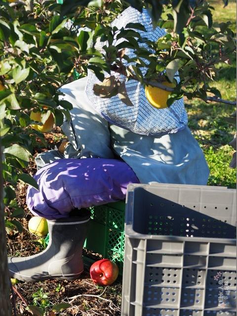 長野松川市東印平林農園採蘋果體驗 (133).jpg - 長野安曇野。東印平林農園蘋果園採蘋果りんご狩り