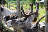 北海道道北。我在北緯45度遇見日本最北馴鹿TONAKAI牧場:北海道名寄馴鹿觀光牧場 (16).JPG