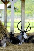 北海道道北。我在北緯45度遇見日本最北馴鹿TONAKAI牧場:北海道名寄馴鹿觀光牧場 (31).JPG