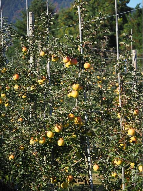 長野松川市東印平林農園採蘋果體驗 (33).jpg - 長野安曇野。東印平林農園蘋果園採蘋果りんご狩り