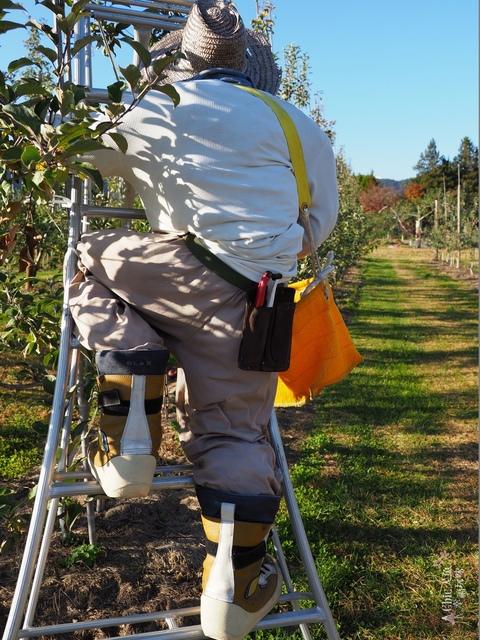長野松川市東印平林農園採蘋果體驗 (126).jpg - 長野安曇野。東印平林農園蘋果園採蘋果りんご狩り