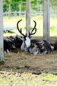 北海道道北。我在北緯45度遇見日本最北馴鹿TONAKAI牧場:北海道名寄馴鹿觀光牧場 (38).JPG
