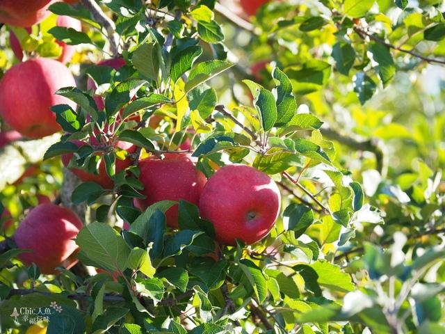 長野松川市東印平林農園採蘋果體驗 (119).jpg - 長野安曇野。東印平林農園蘋果園採蘋果りんご狩り