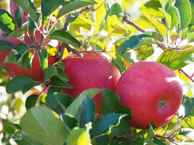 長野松川市東印平林農園採蘋果體驗 (121).jpg - 長野安曇野。東印平林農園蘋果園採蘋果りんご狩り