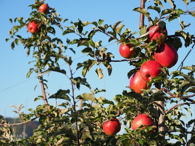 長野松川市東印平林農園採蘋果體驗 (141).jpg - 長野安曇野。東印平林農園蘋果園採蘋果りんご狩り