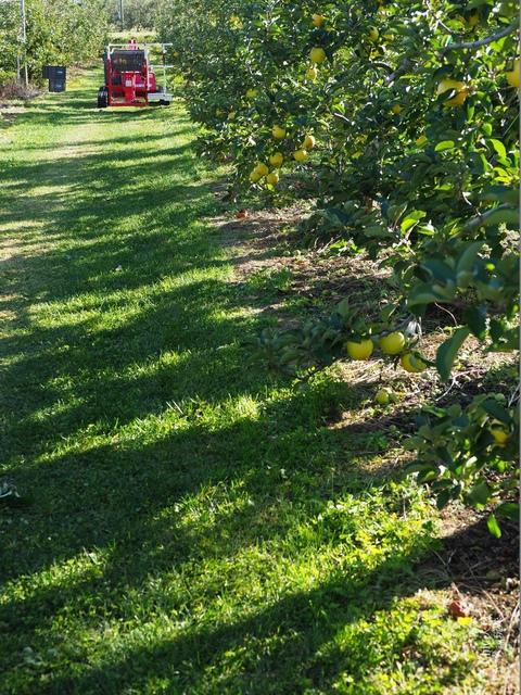 長野松川市東印平林農園採蘋果體驗 (44).jpg - 長野安曇野。東印平林農園蘋果園採蘋果りんご狩り