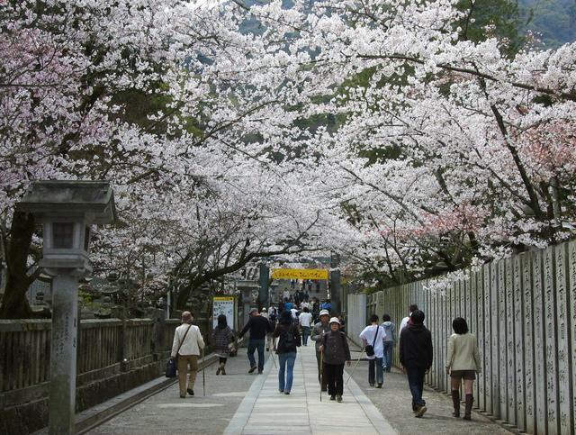 金刀比羅宮の桜.jpg - JR四國PASS
