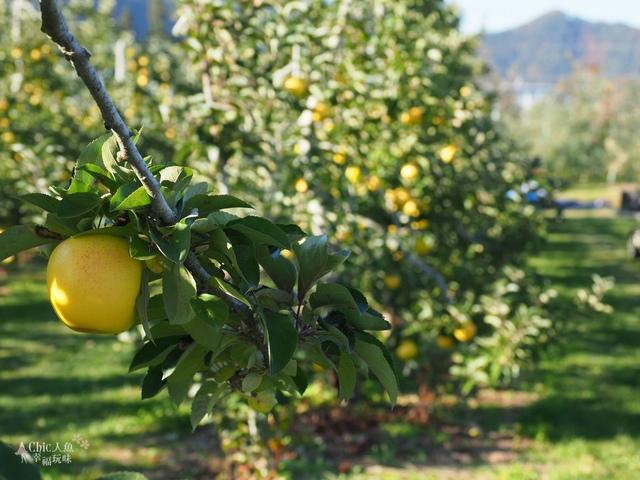 長野松川市東印平林農園採蘋果體驗 (107).jpg - 長野安曇野。東印平林農園蘋果園採蘋果りんご狩り