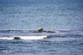 北海道道北。島旅。礼文島:金田海岬-斑海豹曬日光浴 (4).jpg